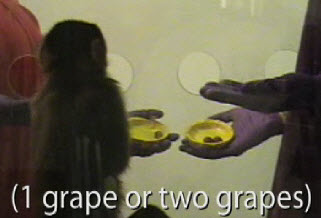 Monkey trades a coin for grapes, picking the better deal (credit: Laurie Santos/Yale University)
