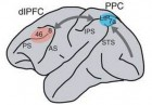 Schematic diagram of the monkey brain and areas in which recordings were performed. AS, arcuate sulcus; IPS, intraparietal sulcus; PS, principal sulcus; STS, superior temporal sulcus. (Credit: /Nature Neuroscience)