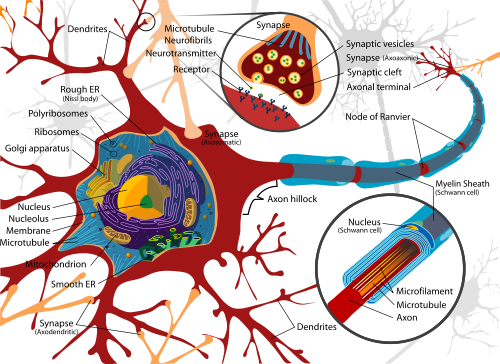 Evidence That Dendrites Actively Process Information In The Brain