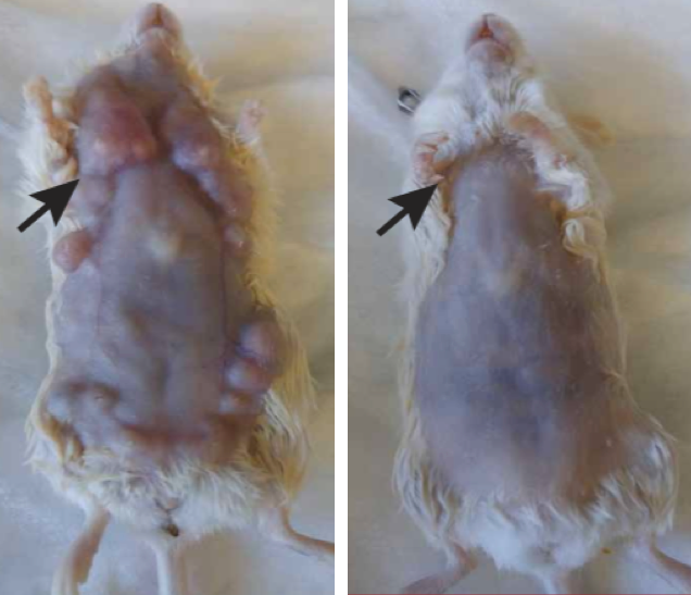 Effects of in situ vaccination with CpG and anti-OX40. Left: Mice genetically engineered to spontaneously develop breast cancers in all 10 of their mammary pads were injected into the first arising tumor (black arrow) with either a vehicle (inactive fluid) (Left) or with CpG and anti-OX40 (right). Pictures were taken on day 80. (credit: Idit Sagiv-Barfi et al./ Sci. Transl. Med.)