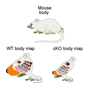 mouse_body_map