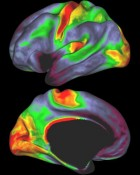 Scientists have found a way to use MRI scanning data to map myelin, a white sheath that covers some brain cell branches. Such maps, previously only available via dissection, help scientists determine precisely where they are at in the brain. Red and yellow indicate regions with high myelin levels; blue, purple and black areas have low myelin levels (credit: David Van Essen)