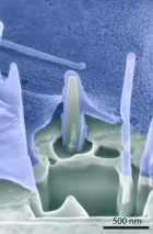 Interface of cell (blue) and nanopillar shows cell membranes wrapped around the pillar (credit: Stanford University)