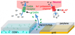 A biochemical pathway for reducing chemically induced epileptic activity by delivering the natural neurotransmitter GABA via PEDOT:PSS electrodes, which also sensed the epileptic attack and recorded the subsequent electrophysiological activity to confirm effecctiveness (credit: Amanda Jonsson et al./PNAS)