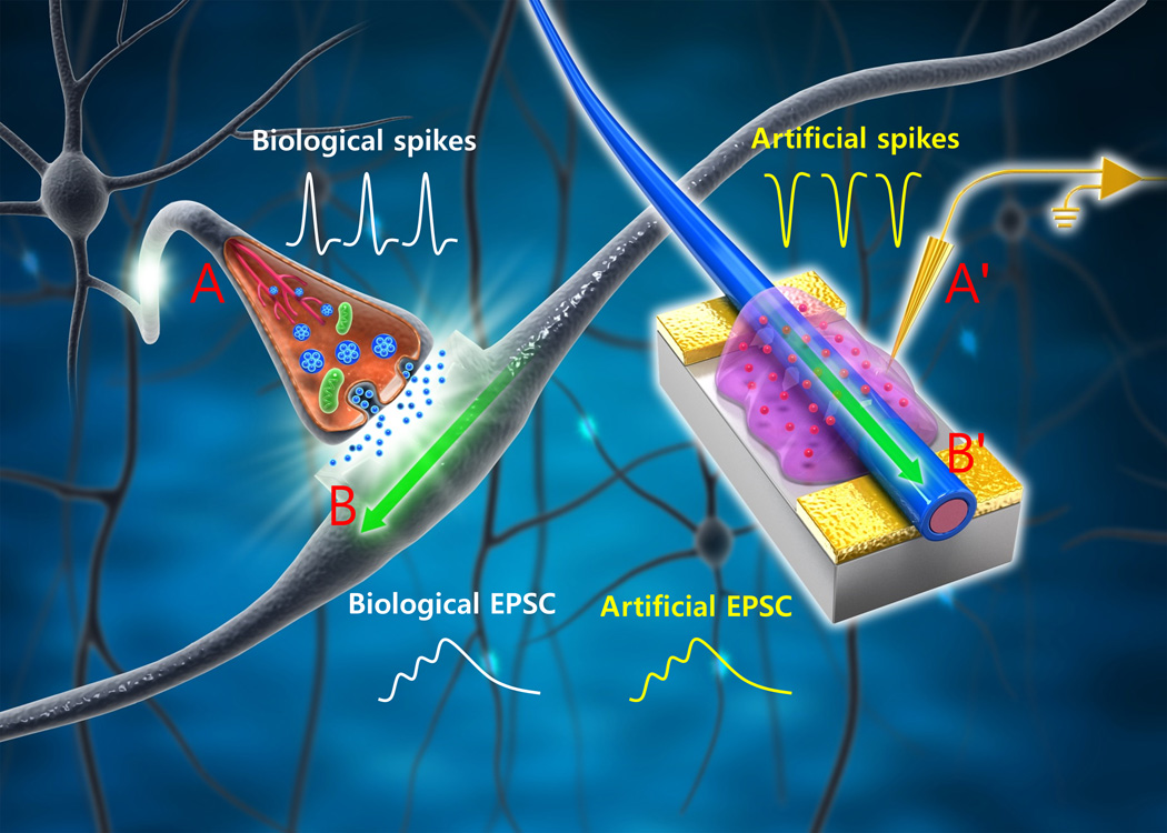 ... biological synapses in energy consumption and function | KurzweilAI