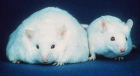 Obese vs. normal mouse (unrelated to the experiment) (credit: Wikimedia Commons)