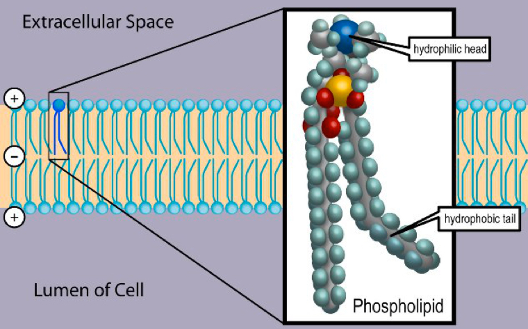 scientists create synthetic membranes that grow like