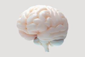 photo - human brain model - no. 1