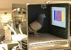 pigeon training environment