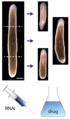 Head-trunk-tail planarian regeneration results from experiments (credit: Daniel Lobo and Michael Levin/PLOS  Computational Biology)