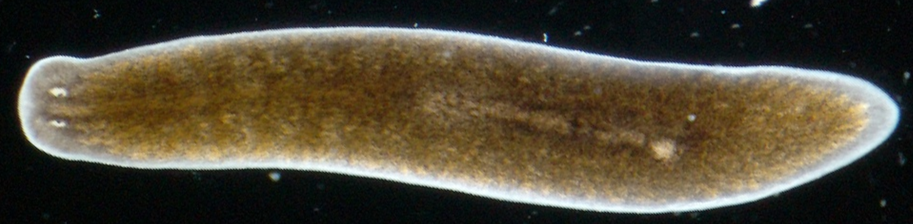 significance of planarians essay Planarians are hermaphrodites, meaning they have both female and male organs they reproduce sexually but they cannot reproduce by fertilizing their own eggs with their sperm planarians can also reproduce asexually by regeneration.