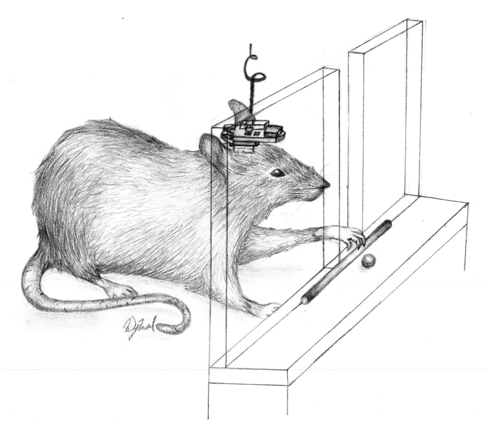 Rat with prostheses