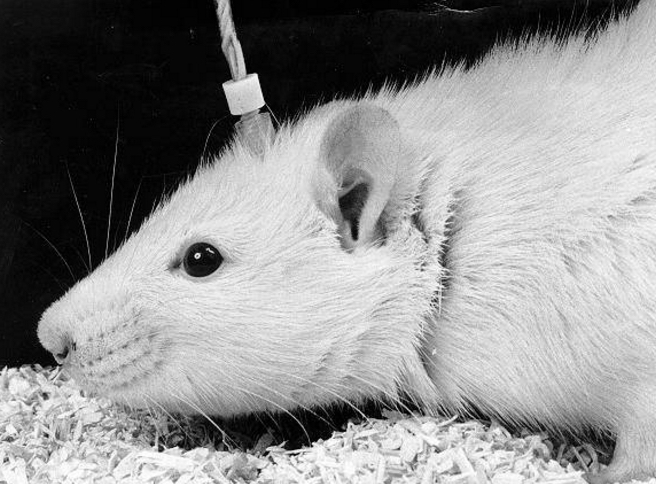 Electrode implant in a laboratory rat used to deliver electrical stimulation to the brain (credit: Vdegroot at Dutch Wikipedia/Creative Commons)
