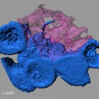 Confocal microscope image showing stem cells (blue) clustering around a hub in the stem cell niche (pink). One stem cell extends a nanotube into the hub. (credit: Mayu Inaba, University of Michigan)