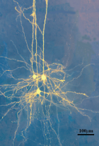 Patterning of putative synapses between synaptically coupled neurons (credit: EPFL)