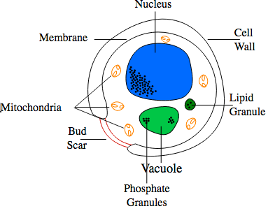 Diagram of yeast cell (credit: Frankie Robertson/CC)