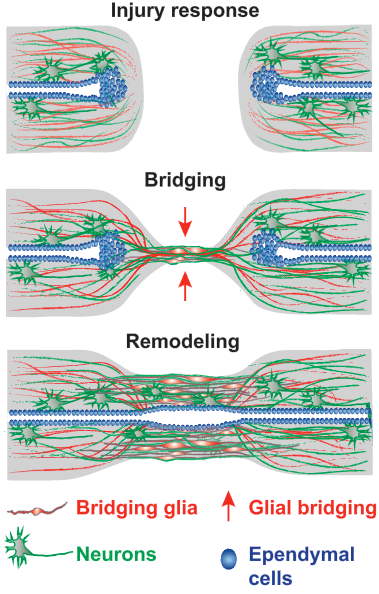 Axon Regeneration in the Peripheral and Central Nervous Systems